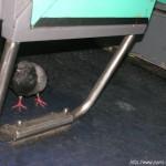 Un pigeon voyageur