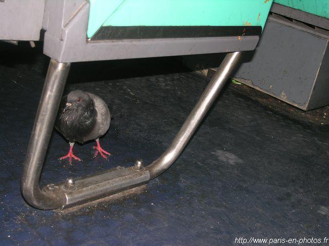 pigeon métro