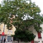 Arbre-baobab du Moulin des Prés