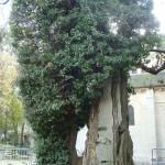Le plus vieil arbre...